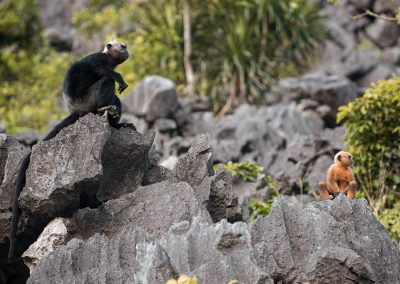 Adult and infant Cat Ba Langur sitting on rocks Vietnam