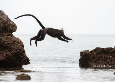 Adult male Cat Ba Langur jumping over water Vietnam