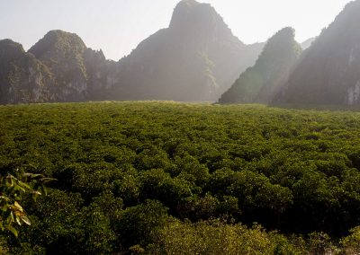 cat ba Vietnam Mangrove forest in the morning