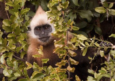 Sub-adult male Cat Ba Langur foraging Vietnam