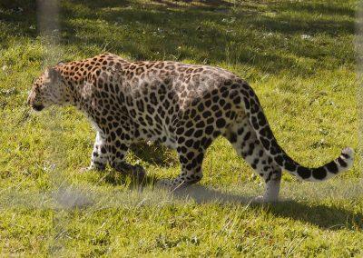 Tenikwa Leopard conservation