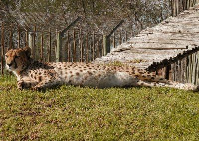 Tenikwa cheetah rehabilitation South Africa