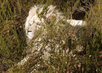Tenikwa white lion rehabilitation resident