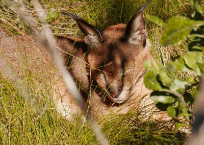 Tenikwa wildlife rehabilitation sanctuary caracal