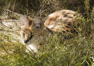 Wildlife conservation at Tenikwa serval cat in the grass
