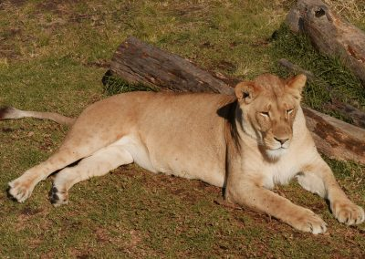 One of the resident lions at Tenikwa South Africa conservation