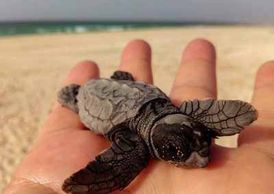 turtle on the beach small baby in a hand